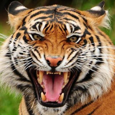 В Италии голый грузин залез в клетку к тигру