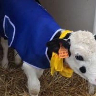 В Италии на коров надели пальто