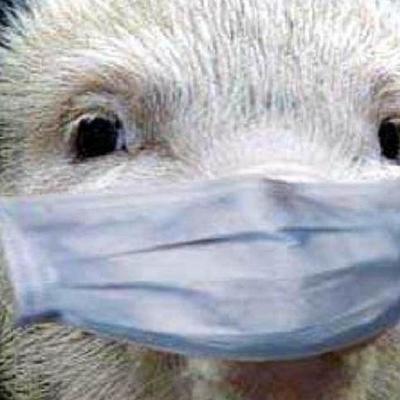 В Киевской области объявлен карантин из-за африканской чумы свиней