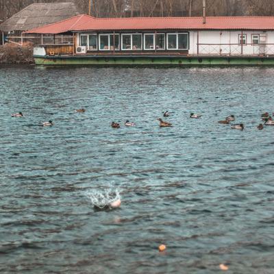 В киевском Гидропарке волонтеры спасали диких уток от голода