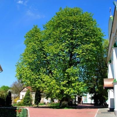 Киевский каштан и клен попали в топ самых старых деревьев Украины