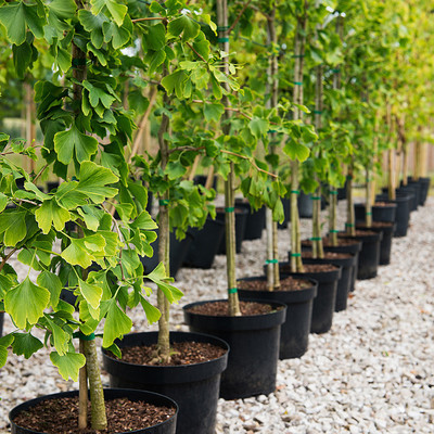 В Киеве будут выдавать бесплатные саженцы деревьев