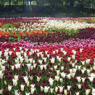 На Певческом поле в Киеве откроется выставка тюльпанов