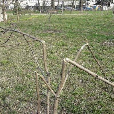 В киевском сквере Трудовой Славы вандалы поломали молодые деревья и выкопали тюльпаны
