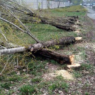 В Дарницком районе неизвестные спилили более 50 тополей