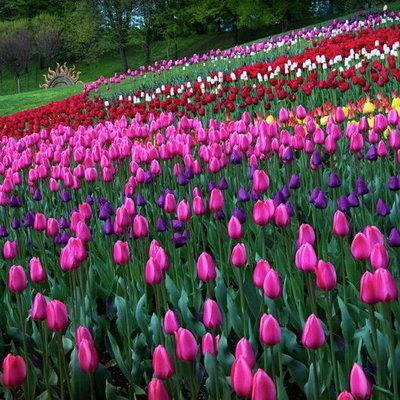 В Киеве перенесли выставку тюльпанов