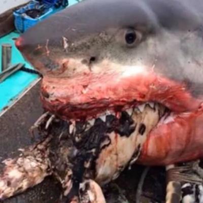 Гигантская акула подавилась черепахой и умерла
