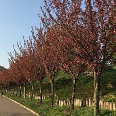 В ботсаду Гришко цветут сакуры и миндаль