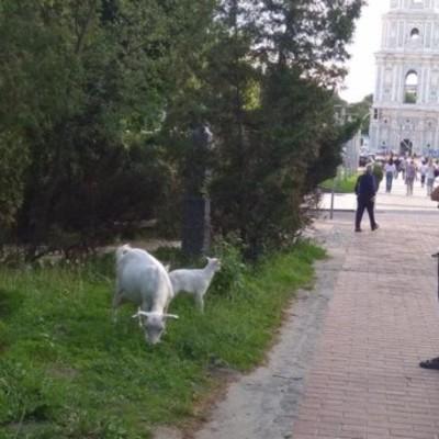 В центре Киева пасут коз