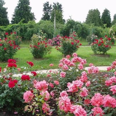 В киевском ботсаду зацвели розы