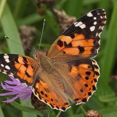В Киеве зафиксировали «нашествие» бабочек