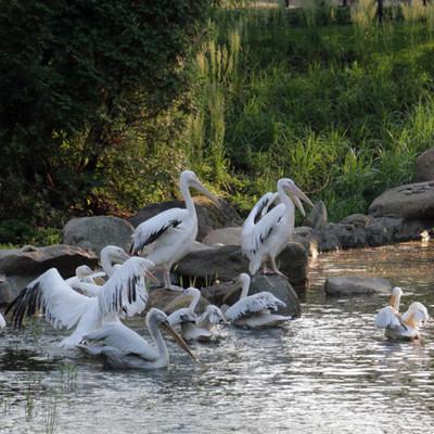 Для пеликанов в Киевском зоопарке реконструировали озеро (фото)