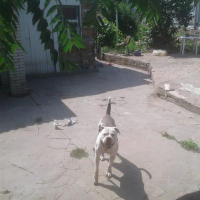 На Киевщине бойцовский пес напал на пенсионерку