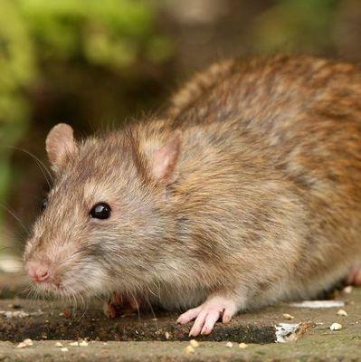 Домашняя крыса убила хозяйку