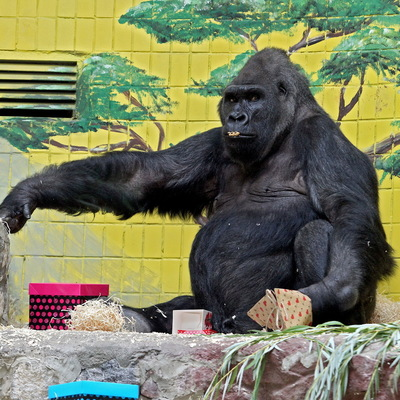 Около 5 тыс. посетителей Киевского зоопарка поздравили гориллу Тони с днем рождения