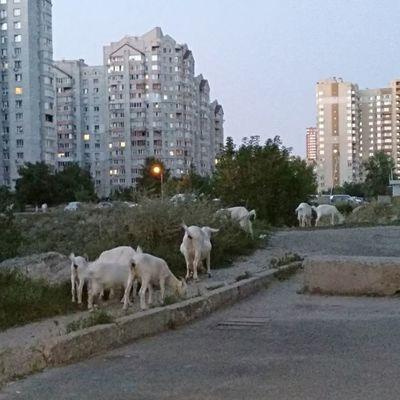 По Киеву бродят козы