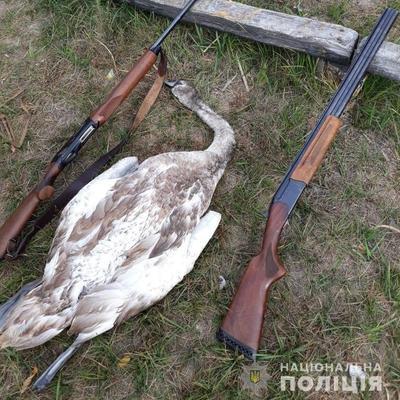 На Киевщине пьяные браконьеры застрелили лебедя