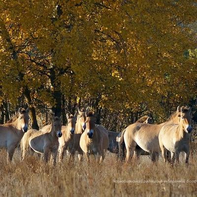 В камеру фотографа Чернобыльского радиационно-экологического заповедника попали лошади Пржевальского