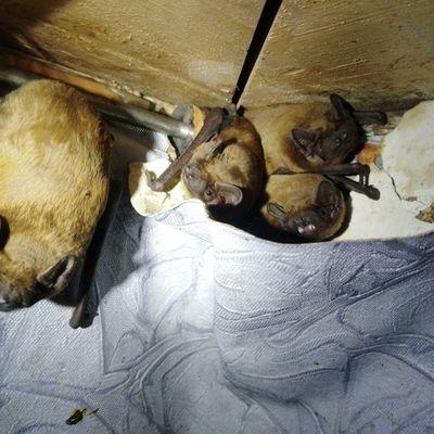 На балконе у киевлянина на зимовку устроились 120 летучих мышей