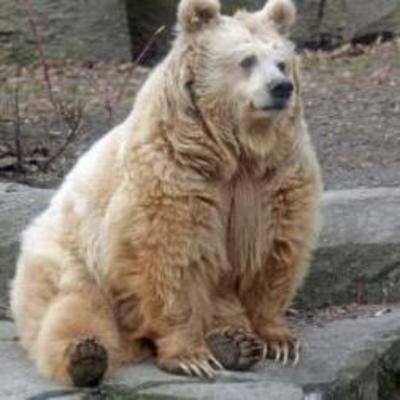 В Киевском зоопарке первый медведь впал в зимнюю спячку