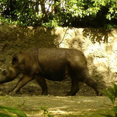 В Малайзии умер последний суматранский носорог (фото)
