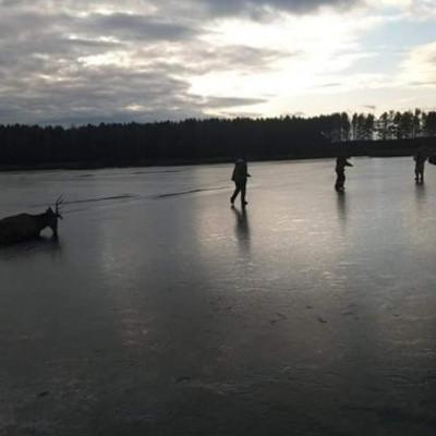 На Киевщине спасли провалившегося под лед оленя (фото)