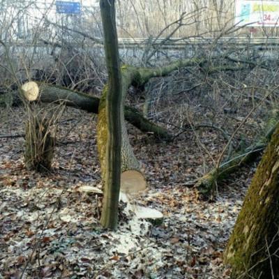 """В урочище Теремки национального парка """"Голосеевский"""" застройщик начал вырубку деревьев"""