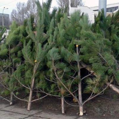 В Киеве будет открыто 15 пунктов приема новогодних елок