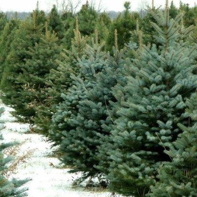 Где в Киеве купить легальную новогоднюю елку: адреса