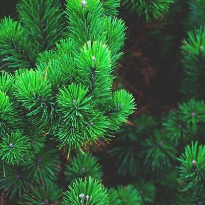 В Ирпене у продавцов изъяли 37 елок без чипов