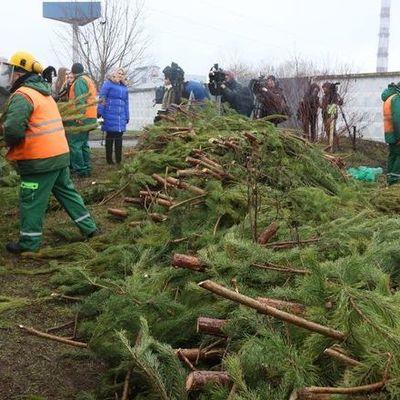 В Киеве за неделю уничтожили 7 тыс. новогодних елок: как это происходит