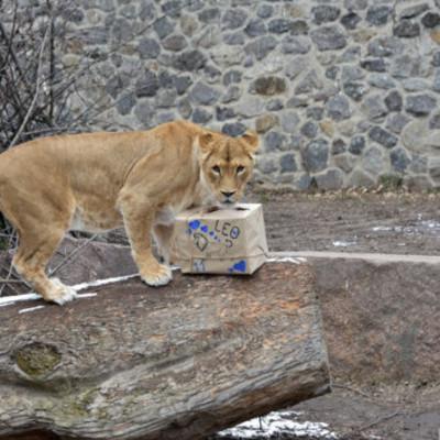 Львы Киевского зоопарка отпразднуют 11-летие