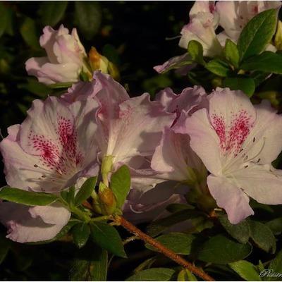 В ботсаду Гришко можно полюбоваться цветением азалий и камелий