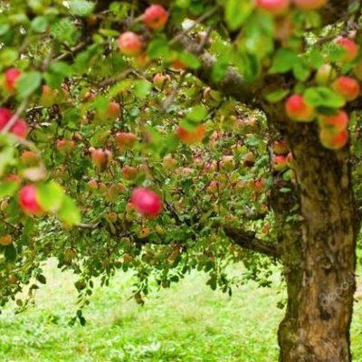 В Киеве высадят яблоневый сад в центре города