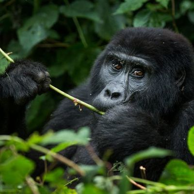 Четыре горные гориллы погибли от удара молнии: представителей их вида осталось около тысячи