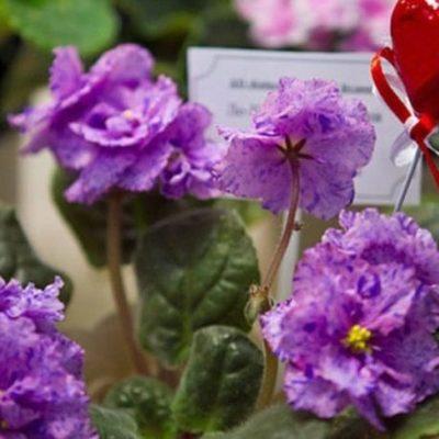 Фиалки для влюбленных: в Киеве пройдет выставка ко Дню Святого Валентина