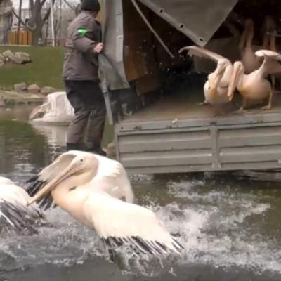 Пеликаны вернулись на озеро в Киевском зоопарке (видео)