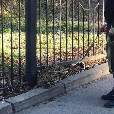 В Киеве сняли на видеопарня, котрый на поводке выгуливает леопарда