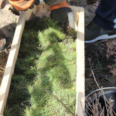 В лесу под Киевом за день высадили 100 тысяч деревьев