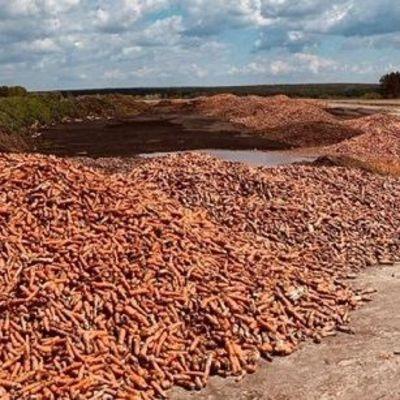 Под Киевом разорившийся фермер выбросил горы моркови