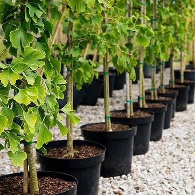 Волонтеры бесплатно раздадут саженцы деревьев для озеленения Киева