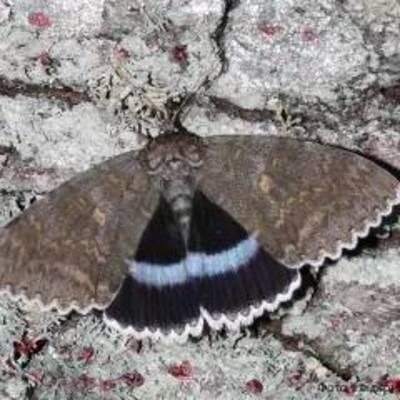 В Чернобыльской зоне заметили бабочку размером с птицу