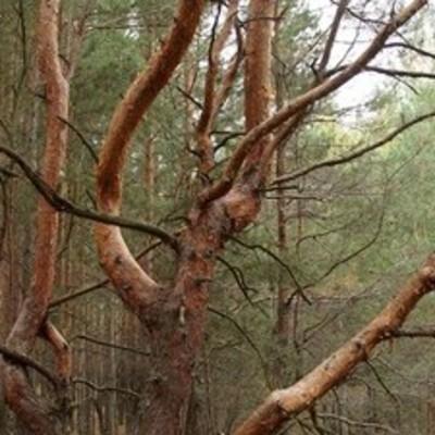 Под Киевом обнаружили уникальные деревья (фото)