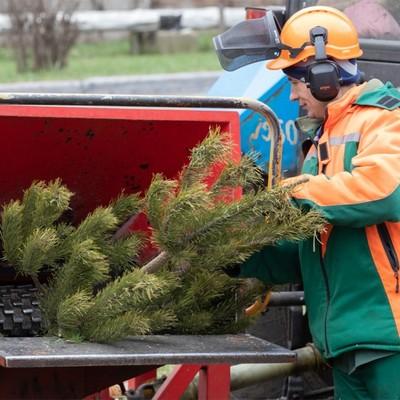 В Киеве сдать новогодние елки на утилизацию можно до февраля